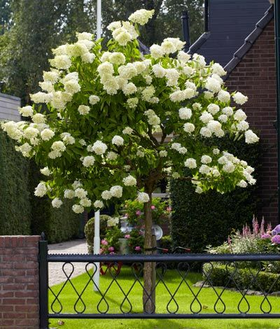 PeeGee Hydrangea Tree Growing Zones: 3-8 Height: 10-15 ft. Width: 8-12 ft. Sunlight: Full to Partial Blooms: Spring & Summer Spacing: 8-12 ft. Botanical: H. paniculata 'Grandiflora' (PG)