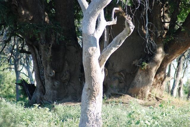 Huge Nyala & Grey Leadwood tree
