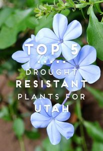 Top 5 Drought Resistant Plants for Utah, USU Extension