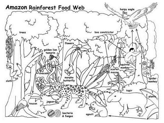 Amazon Rain Forest Food Web Coloring Activity Page Printable