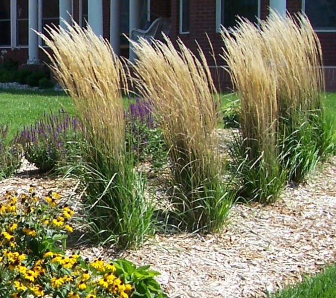 Karl foerster c plantes jardi pinterest ornamental for Ornamental grass garden