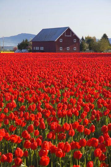 Red Tulip field with barn, Skagit County, WA || Washington ◆ USA