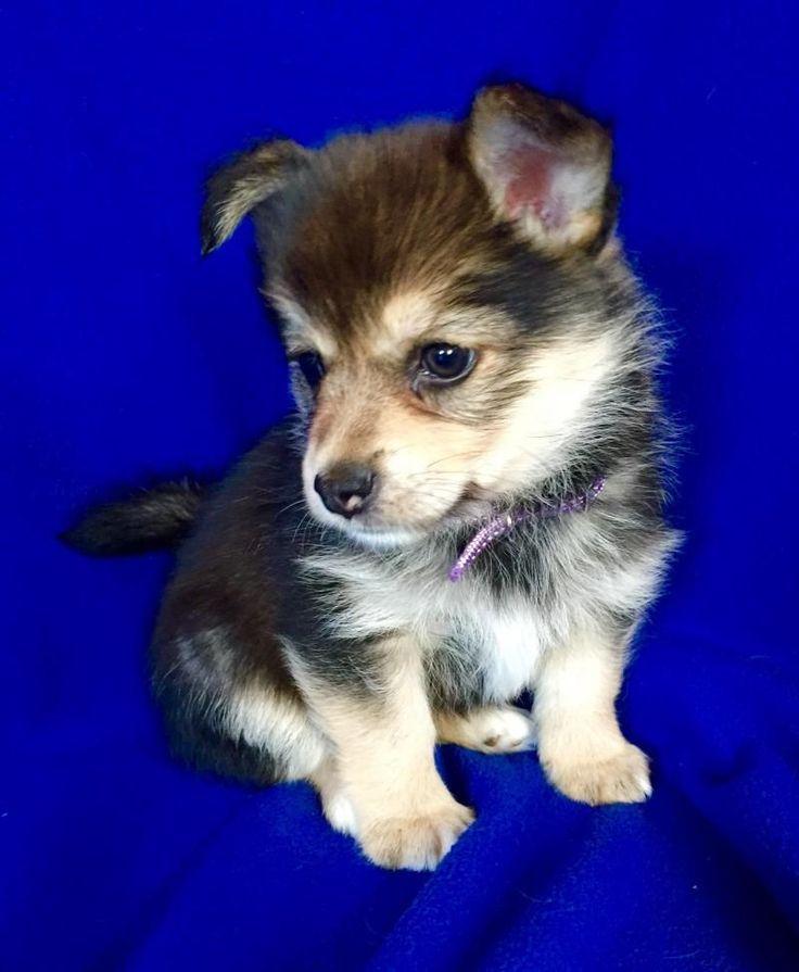 Meet jill a petfinder adoptable yorkshire terrier yorkie