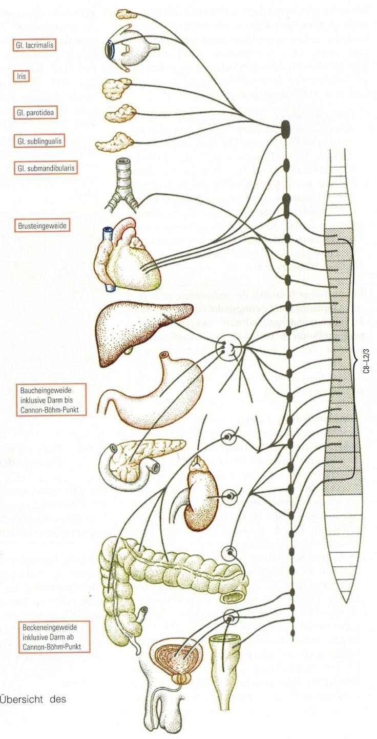 Einleitung Das vegetative Nervensystem (VNS) ist phylogenetisch älter als das zentrale Nervensystem (ZNS) mit Gehirn und Rückenmark. Es wird auch als autonomes Nervensystem bezeichnet, da es ohne willkürlichen Einfluss durch das menschliche Denken, also den bewußten Willen funktioniert. Man findet in der Literatur u.a. Medien Beweise über das Vorhandensein von Nervenzellen bei niederen Tieren wie …