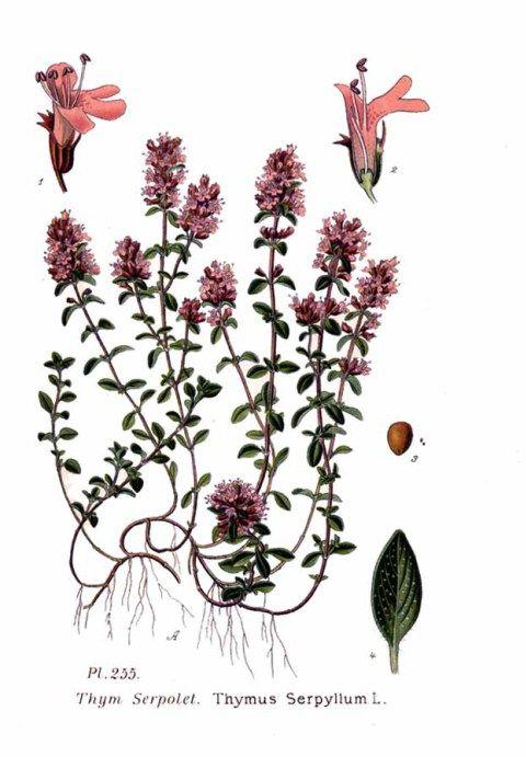 Thymus_serpyllum_L studio naturopatico donadoni inverigo como Fu tradotto nel latino thymus che ha dato il nome alle due specie principali, Thymus vulgaris e Thymus serpillum: la prima, che vive prevalentemente nei luoghi aridi, presenta i fusti ascendenti o eretti e i fiori rosei o bianchi; la seconda ha i fiori rosei con foglioline punteggiate di piccole ghiandole che contengono olii essenziali. Quest'ultima è stata chiamata serpillum perché, scriveva…