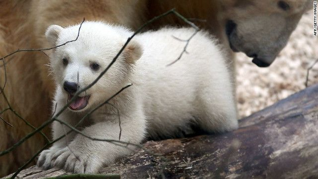AnoriMomma Bears, Bears Kbut, Polar Bears, Polar Bear Cubs, Bears Cubs, Half Sisters, Cubs Anori, Baby Bears, German Zoos