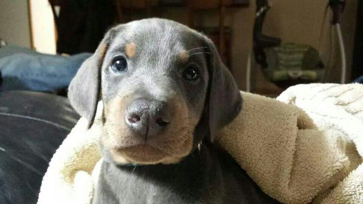 Blue Doberman puppy