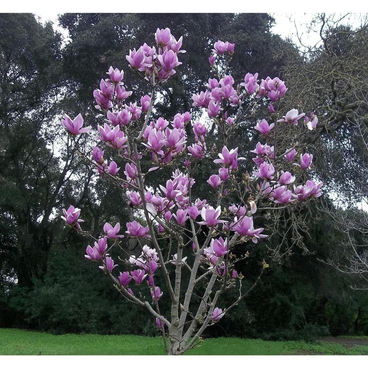 best 25 magnolia trees ideas on pinterest notting hill. Black Bedroom Furniture Sets. Home Design Ideas