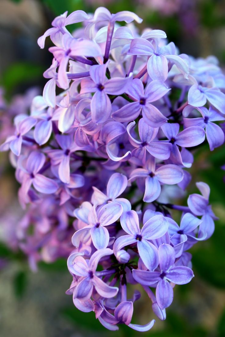 Lilacs.....can still smell their amazing fragrance on my Gramma D's lilac tree!