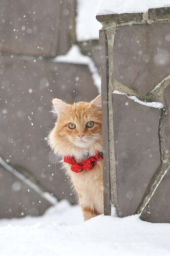 sweet...: Funny Kitty, Christmas Belle, Snow, Beautiful, Christmas Kitty, Christmas Cat, Happy Holidays, White Cat, Animal