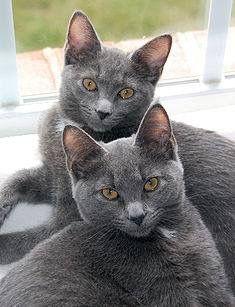 Double Korat Cats