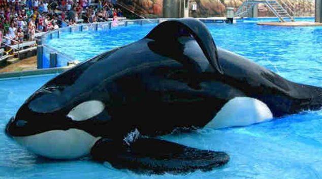 Orcas In Captivity Orcas In Captivity Sad...