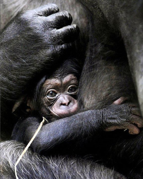 Safe in the arms of Mother - gorillas