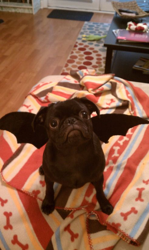 Skeeter - the mantipug. A cross breed between a pug and a manticore, the extremely rare mantipug has leathery batwings and a curly scorpion tail.