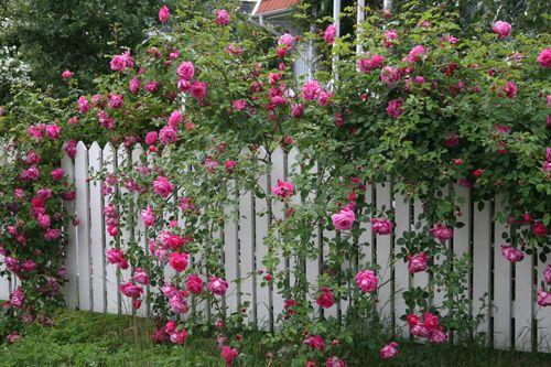 Staket med rosor