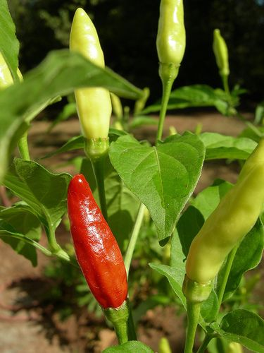 Tabasco Pepper: The American Chili Staple - http://www.pepperscale.com/tabasco-pepper/