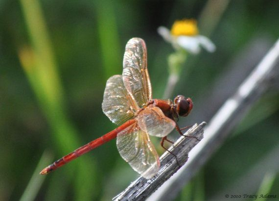 Red Dragon Fly by photosbytyler on Etsy
