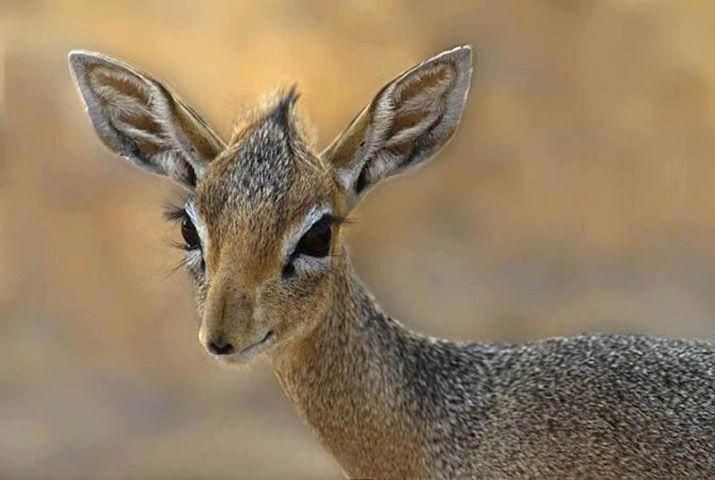 La madoqua es un antílope africano de reducido tamaño que marca su territorio con lágrimas.