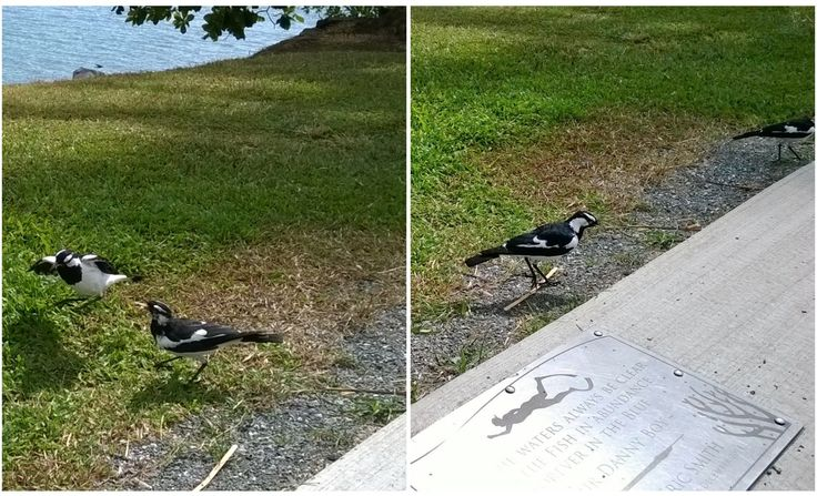 At the park near Sugar Warf - Magpie-lark is a conspicuous Australian bird of small to medium size, also known as the mudlark in Victoria and Western Australia, the Murray magpie in South Australia, and as the peewee in New South Wales and Queensland.