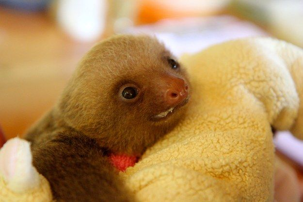 Oh, also, I forgot. It's NOT ONLY baby sloths EATING VEGETABLES that cure your every pain. Baby sloths DRINKING MILK also works as well.   Don't Be Sad, Look At These Baby Sloths Eating Vegetables