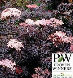 Sambucus Black Lace Elderberry Shrubs | Greenwood Nursery