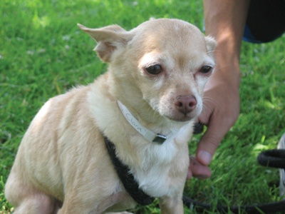 Looking for a lap dog? Look no further! Hi. My name is Ciara and I am a 10-year-old sweet Chihuahua mix. I am a snuggly girl looking for a home to call my own.  Even though I am a senior, I still enjoy going for long, leisurely walks and spending time in the great outdoors. My favorite activity, however, is resting in the lap of anyone who will give me attention. Visit me here at the shelter and see just how special I really am.