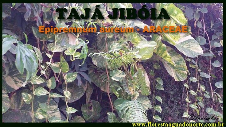 Amazônia - Planta de Vaso e Jardim - Tajá Jiboia - Epipremnum aureum - C...