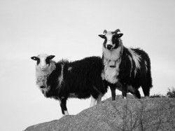 Villsau, svart/hvit