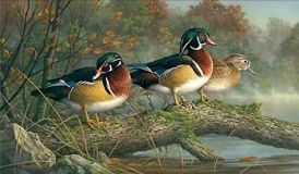""" Secret Spot "" -  Wood Ducks  - Print by Jim Hautman"