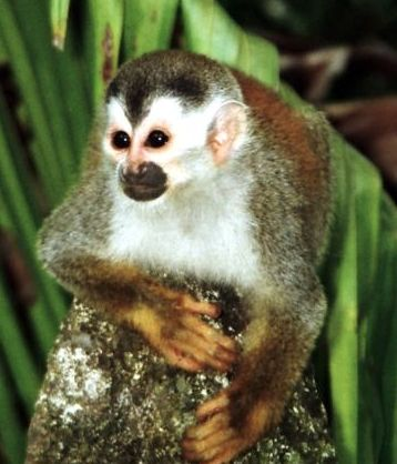 Central American squirrel monkey, Saimiri oerstedii, smallest of the Costa Rican monkey species