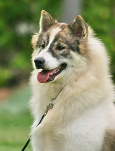 The Thai Bangkaew Dog is an Asian dog breed. It is a medium-sized Spitz-type dog.