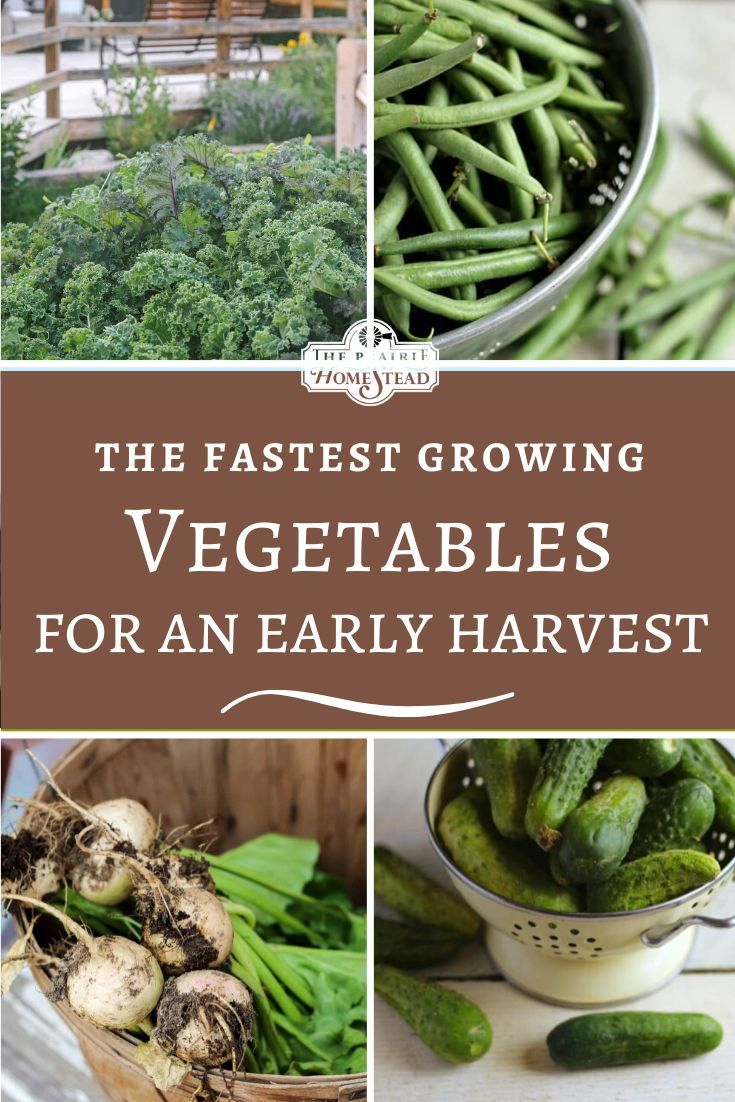 Fast Growing Vegetables To Grow For An Early Harvest The Prairie Homestead In 2020 Fast Growing Vegetables Growing Vegetables Growing Vegetables Indoors