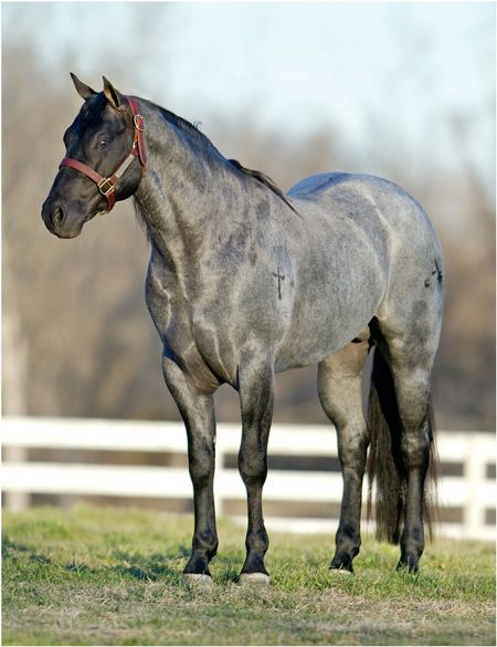 "AARON RANCH :: ""Stone Blue Valentine"" 2010 Blue Roan Stallion Babes Blue Valentine x Blue Valentine Girl"