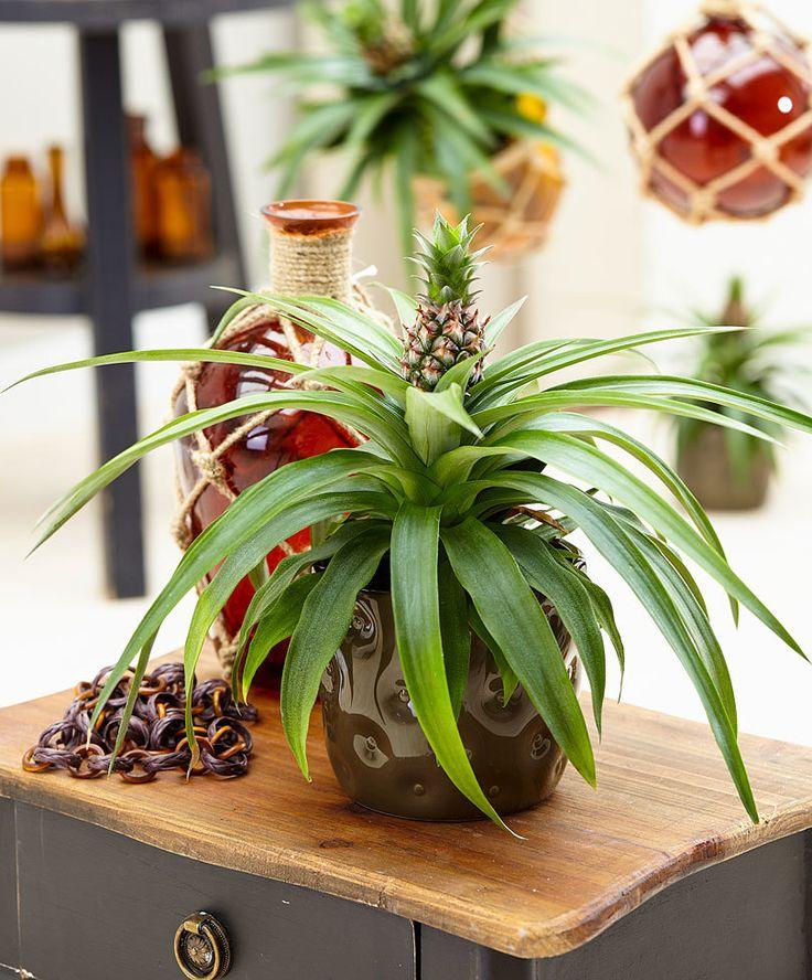 les 25 meilleures id es de la cat gorie ananas plant sur pinterest planter des ananas culture. Black Bedroom Furniture Sets. Home Design Ideas