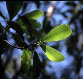 hojas del canelo, árbol sagrado mapuche