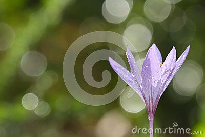 Colchicum Lusitanum - Download From Over 27 Million High Quality Stock Photos, Images, Vectors. Sign up for FREE today. Image: 45844287