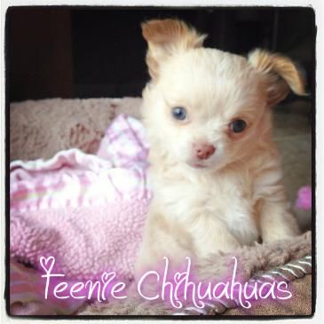 Bailey & Cajun puppy!  www.teeniechihuahuas.com chihuahua breeder, chihuahua puppies for sale, AKC chihuahua