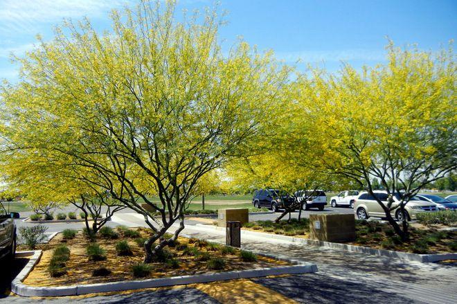 Botanical name: Parkinsonia x 'Desert Museum' (syn Cercidium x 'Desert Museum'); Common name: 'Desert Museum' Palo Verde; Hardy to 15 degrees Fahrenheit (USDA zone 8)