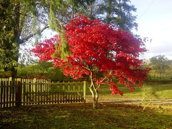 25 beautiful specimen trees ideas on pinterest front for Small trees suitable for small gardens