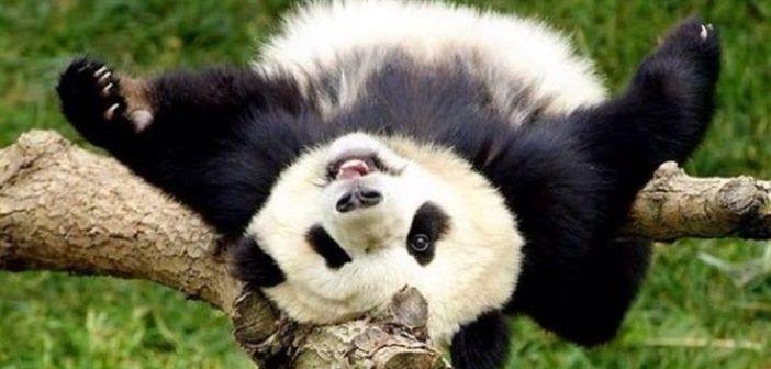 شاهد رد فعل مضحك لـ دب باندا بعد حرمانه من الطعام Panda Panda Bear Funny Cat Memes