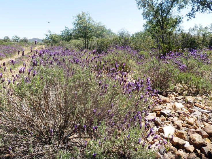 Lavandula Penduculata, el tipico Cantueso de los Montes de Toledo. Planta aromatica excelente