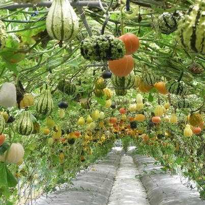 Using a trellis or arch to support squash and/or pumpkins.  Saves garden space.