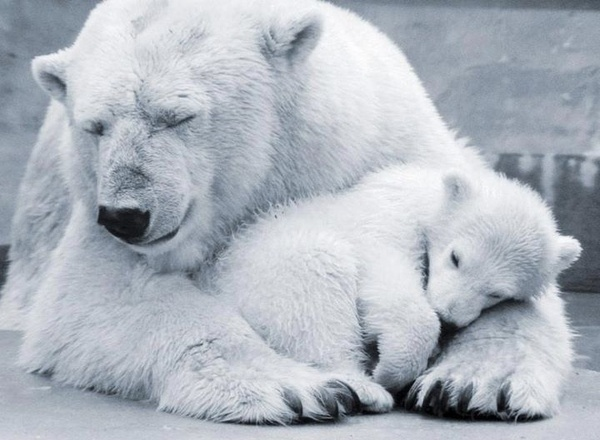 Approximately 2/3 of the world's polar bears live in Canada, divided into 13 subpopulations. The loss of Arctic ice is the main threat to Canada's southernmost populations of polar bears, disappearing at a rate of 10% per decade since 1979 according to satellite images.  The polar bear is afforded surprisingly limited protection by the Canadian government. | http://pinnedpictures.blogspot.com