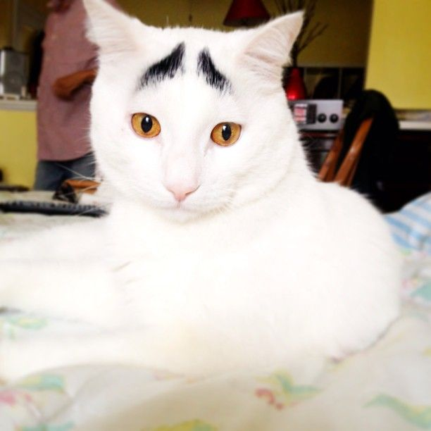 """Most Important Cats of 2013 ♣ ♣ ♣ EYEBROW CAT Much like Hamilton, the aptly-nicknamed Eyebrow Cat has markings the resemble human hair features. Brilliant! Eyebrow Cat, whose """"real"""" name is Sam, hit peak popularity last February shortly after photos from the feline's Instagram account were shared on Reddit, according to Know Your Meme. Sam looks pretty skeptical about the whole thing. """"But...I thought you said the #RoyalBaby would be a princes!"""""""