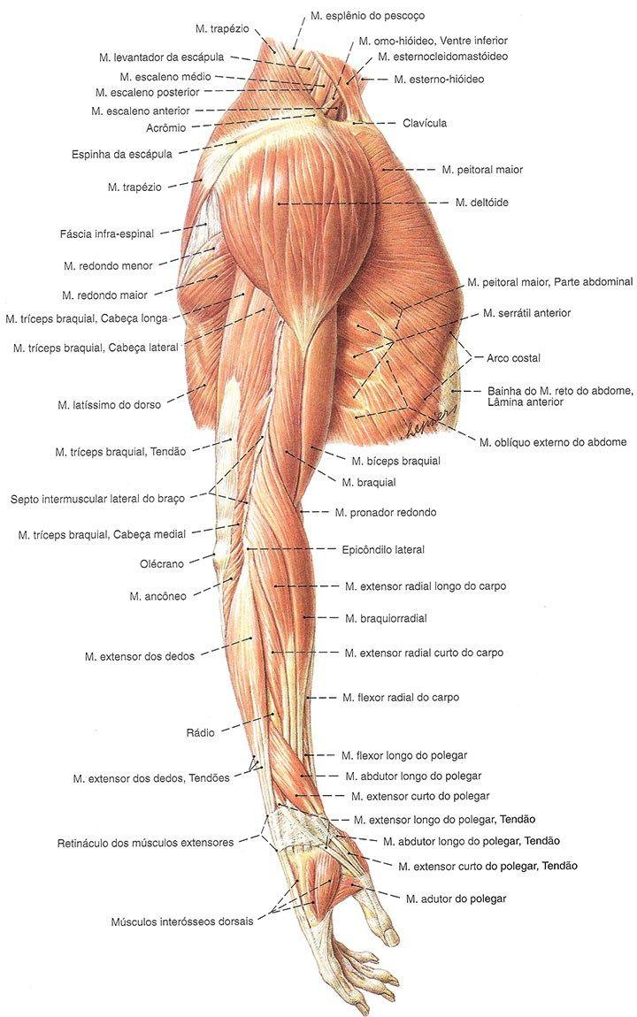 Image result for anatomia muscular do braço