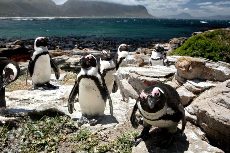 Hermanus - Penguin