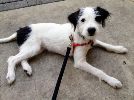 Mies the Jack Russell Terrier/Wire Haired Fox Terrier Mix