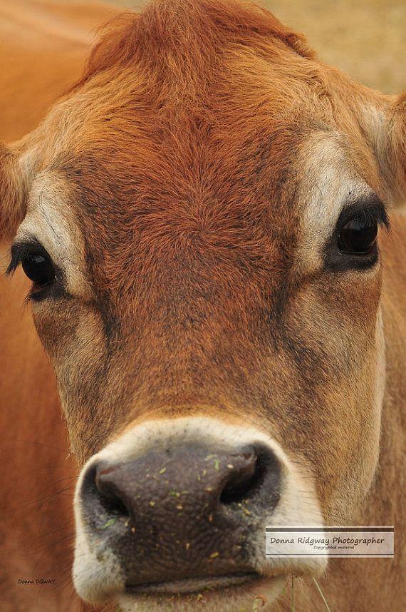 Cow Jersey cow animal photo digital by NaturePhotosMontana on Etsy, $14.99