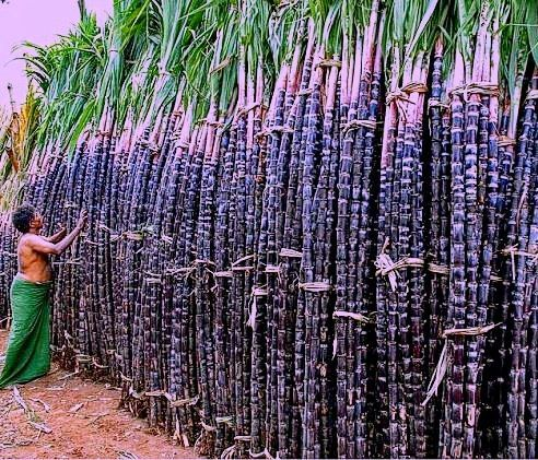Getting ready to sweeten thefestive mood of #villagepeople #Tanjavur #tamilnadu #incredibleindia Last but not least Pongal celebrations in the state are incomplete with sugarcane. Yes sugarcane is the x-factor of Pongal festivities as after the heavy meal people together with their little ones share a lighter moments while chewing the sweet-sweeter sugar cane…