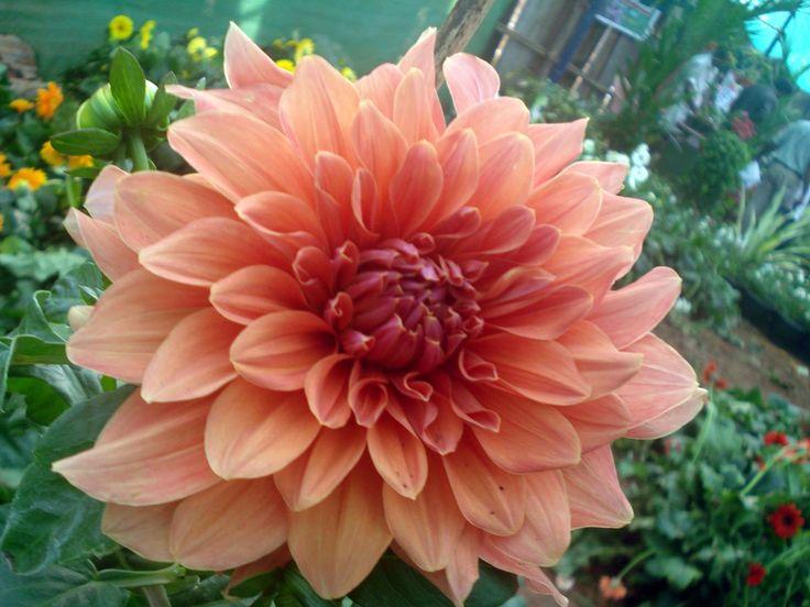 Peach Dahlia Bouquet Centerpiece Boutonniere Www Weddingsbycarlyanes Com Pink Pinterest